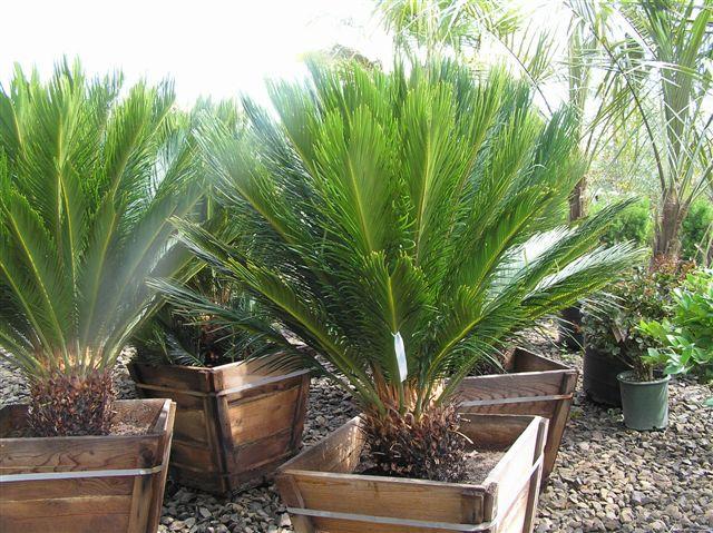 Cycas Revoluta Ingrijire Sago Palm Cycas Revoluta